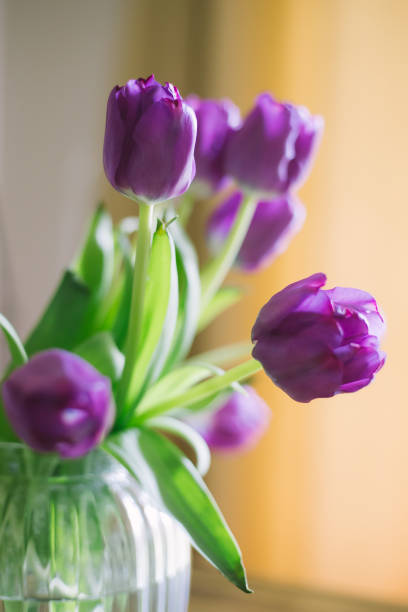 purple tulips in a glass vase stock photo