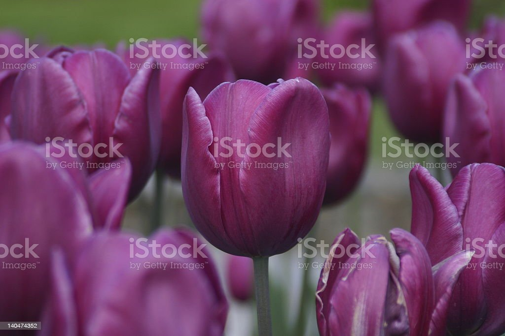 Purple Tulips in bloom royalty-free stock photo