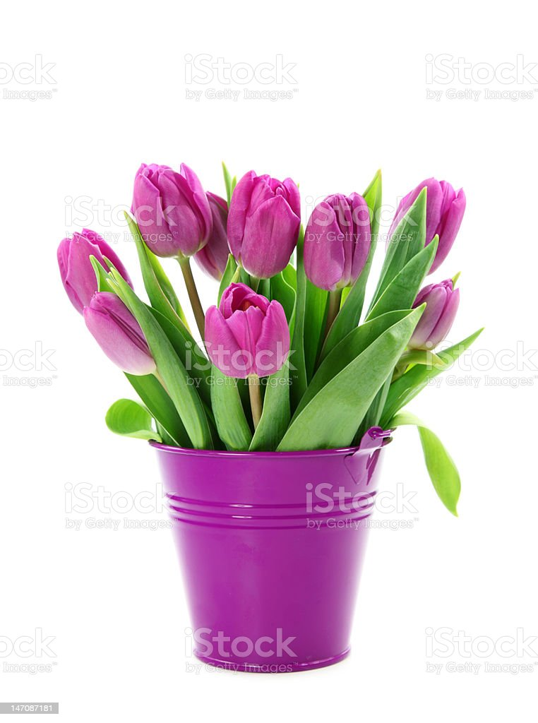 Purple tulips in bucket stock photo