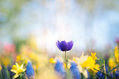 istock Purple Tulips In The Garden 1200874424