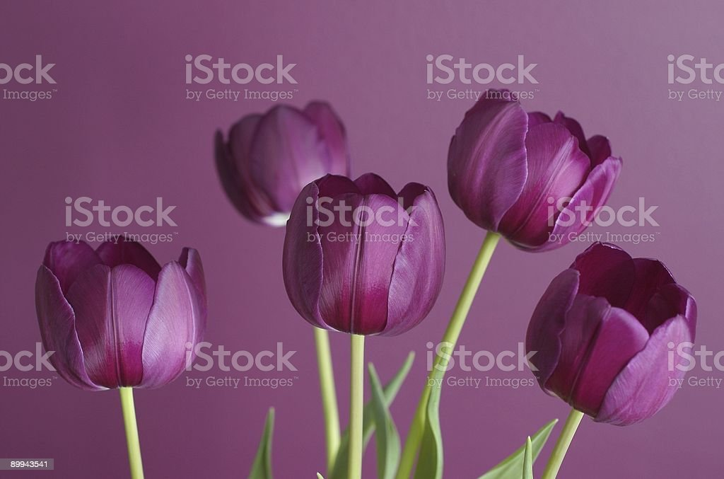 purple tulips on purple 1 stock photo