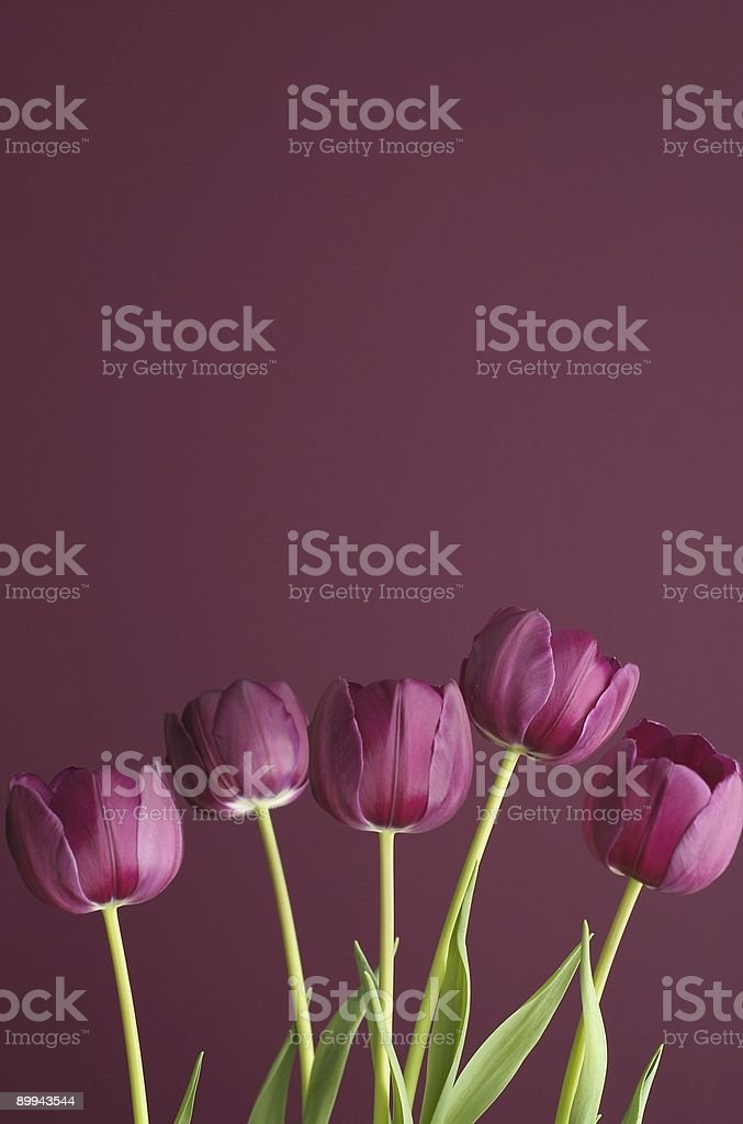 purple tulips on purple 6 stock photo