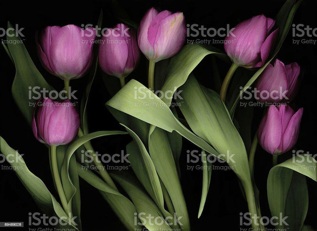 Purple Tulips royalty-free stock photo