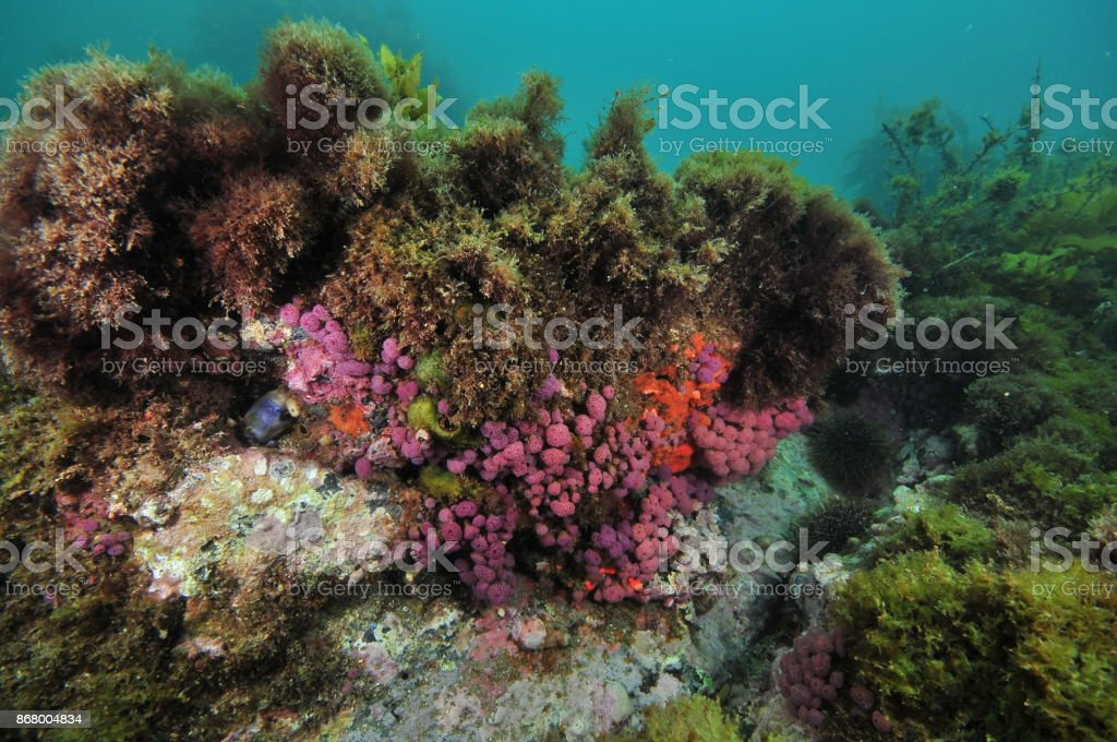 Purple tunicates on overhang stock photo