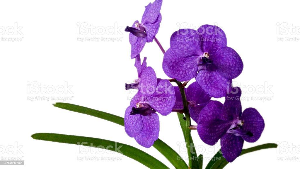 purple vanda orchid flower stock photo