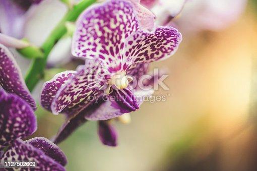 Purple delight Vanda in garden orchid with sunlight