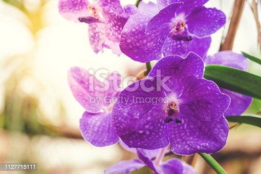 Purple vanda orchid XXL
