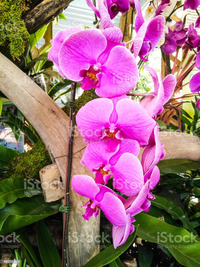 Purple Vanda Orchid royalty-free stock photo