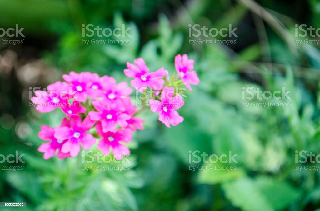 Purple Verbena Flower and Leaves royalty-free stock photo