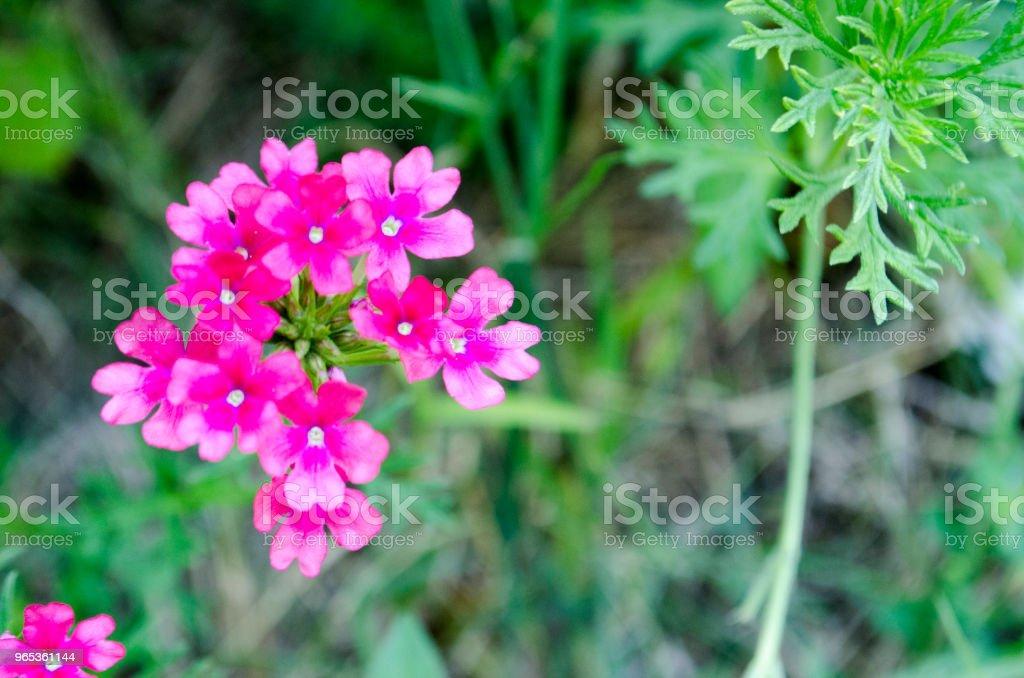 Feuilles et fleurs de verveine pourpre - Photo de Blanc libre de droits