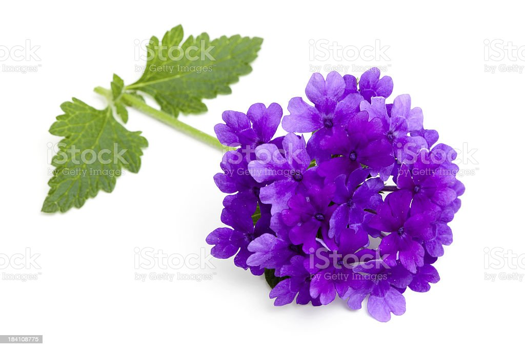 Purple Verbena Flower, Stem and Leaves on White stock photo