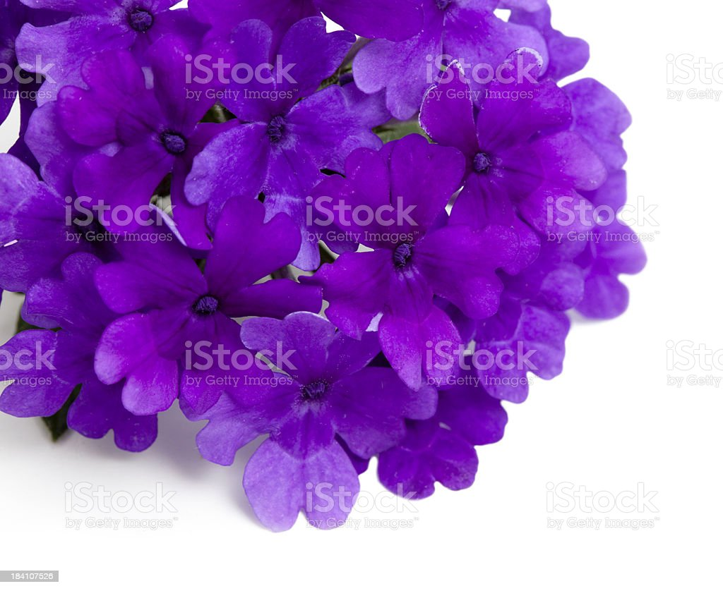 Purple Verbena in Corner White stock photo