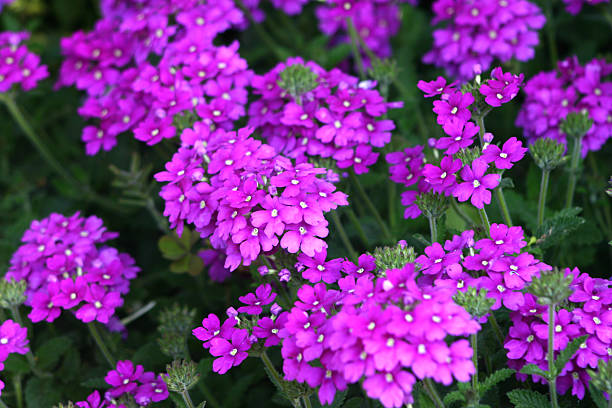 Purple Verbena stock photo