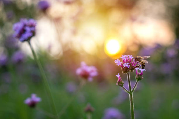 Purple verbena tiny flower with bee in morning sun picture id909680702?b=1&k=6&m=909680702&s=612x612&w=0&h=zoduq7ruzw6dknmdp4b7miilzy5ai2h4a8t3vh8emac=