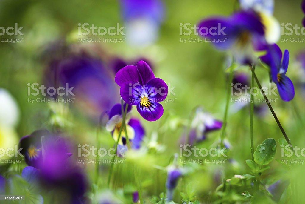 Purple violas royalty-free stock photo