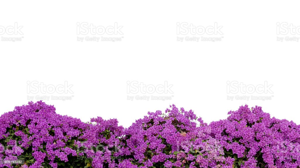 Purple violet Bougainvillea (paper flower) tropical flower bush isolated on white background, clipping path included. stock photo