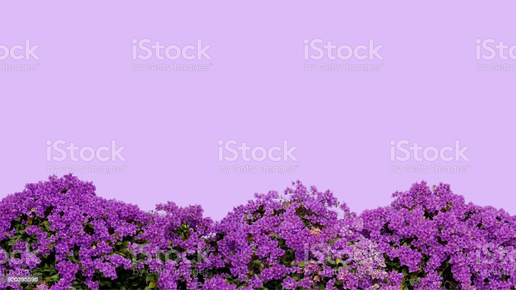 Purple violet Bougainvillea (paper flower) tropical flower bush on pastel violet background, clipping path included. stock photo