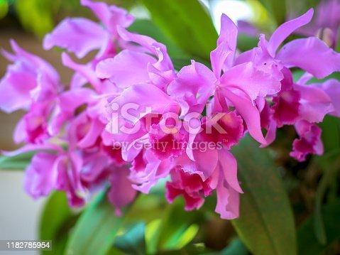 Purple violet cattleya orchid flower blooming in the garden