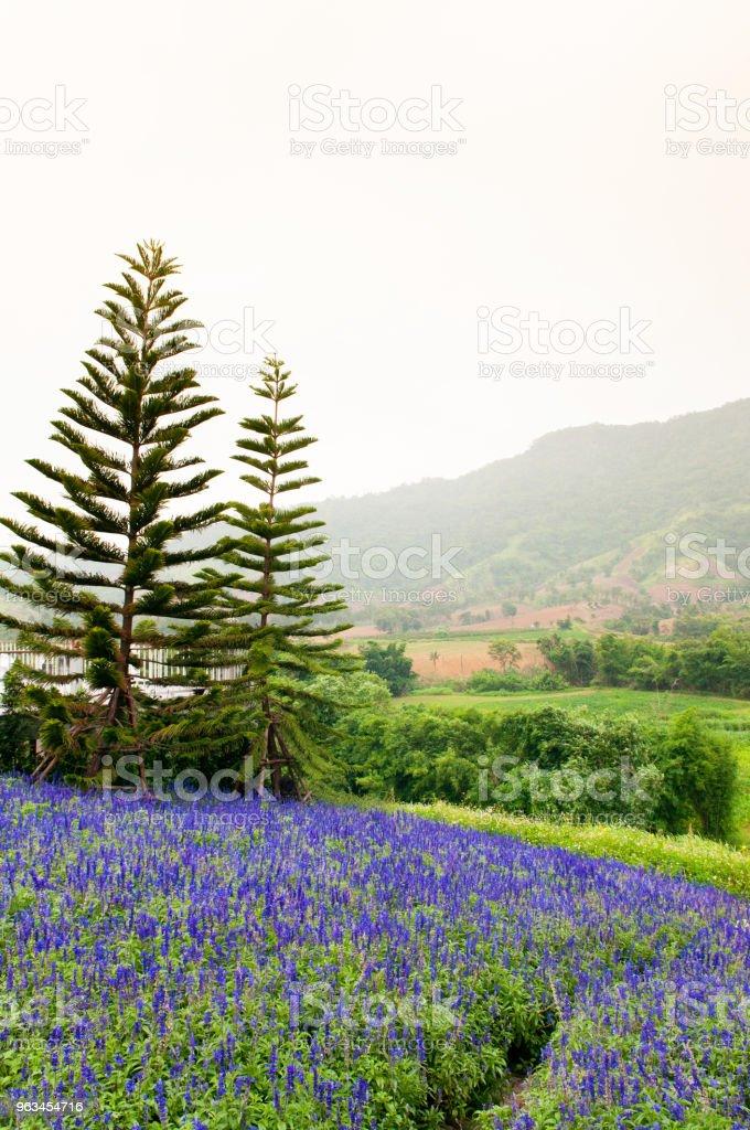 Mor menekşe çiçek veya lavanta alan bahar sezonu - Royalty-free Ahenkli Stok görsel