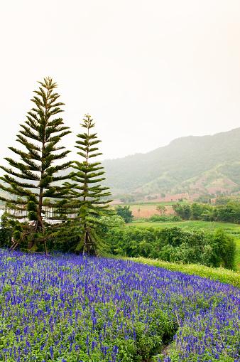 Mor Menekşe Çiçek Veya Lavanta Alan Bahar Sezonu Stok Fotoğraflar & Ahenkli'nin Daha Fazla Resimleri