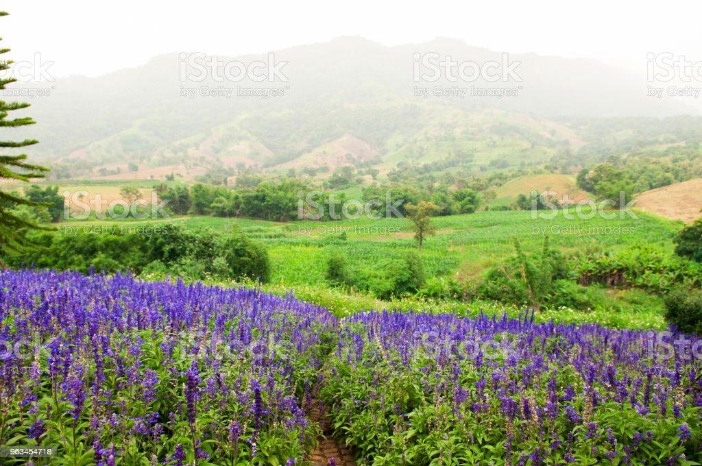 Fleurs Violet pourpres ou champ de lavande au printemps - Photo de Arbre en fleurs libre de droits