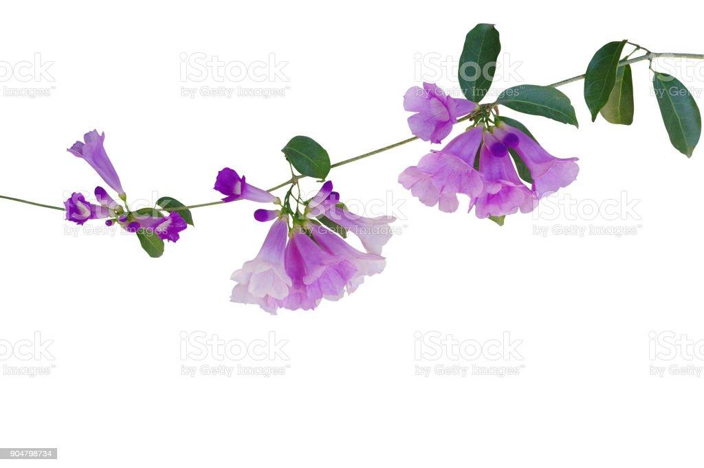 Lila violette Blüten mit grünen Blättern der Knoblauch Rebe (Mansoa Alliacea) der tropischen Liane Pflanze wächst in wilden isoliert auf weißem Hintergrund, Schneidepfad enthalten. – Foto