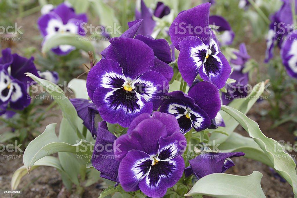 purple violets royalty-free stock photo