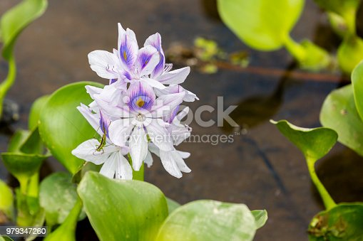 A purple Water Hyacinth flower in a swampy area with small green insect on the flower.