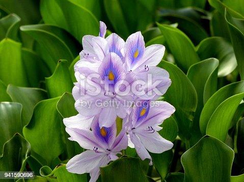 istock Purple Water Hyacinth 941590696