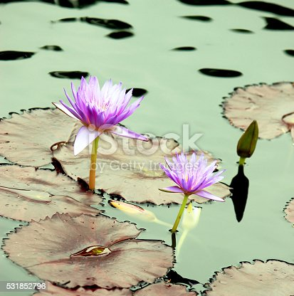 Gorgeous lotuses, lotus