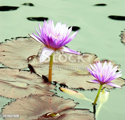 Purple water lily, lotuses