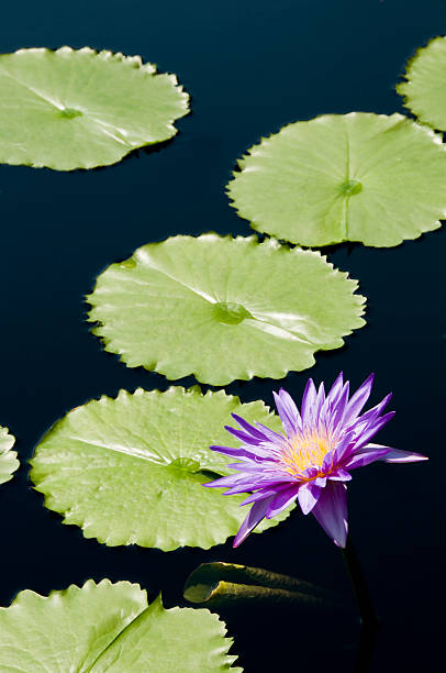 Purple Water Lily and Pads stock photo