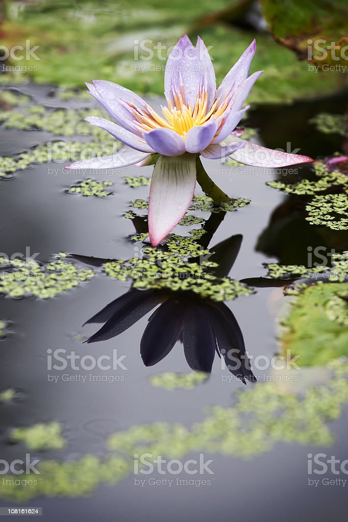 Purple Water Lily in a Pond royalty-free stock photo