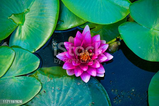 purple water lily on a natural background of green leaves