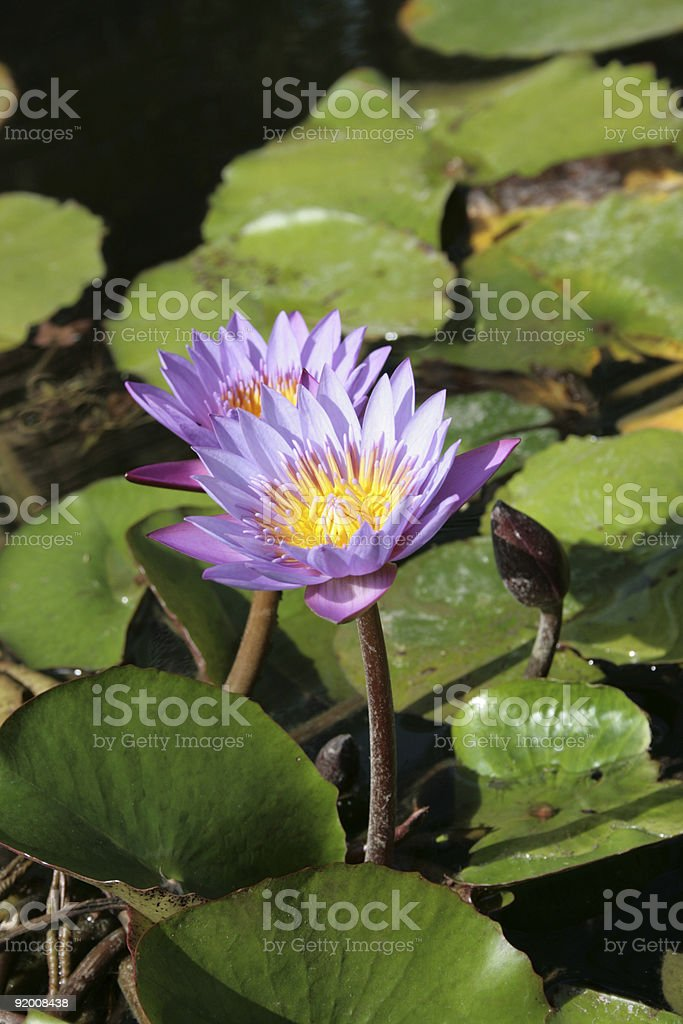 purple water lily pair royalty-free stock photo