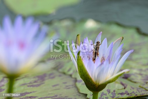 A purple water lily on the pond.And one insect on the flower.