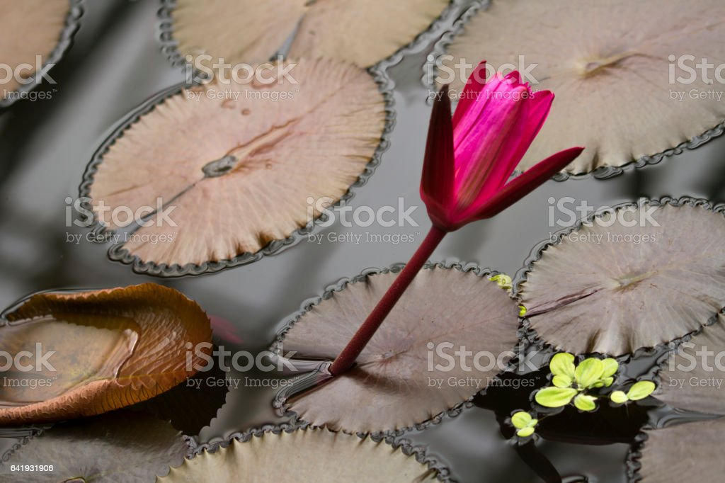 Purple water lily stock photo