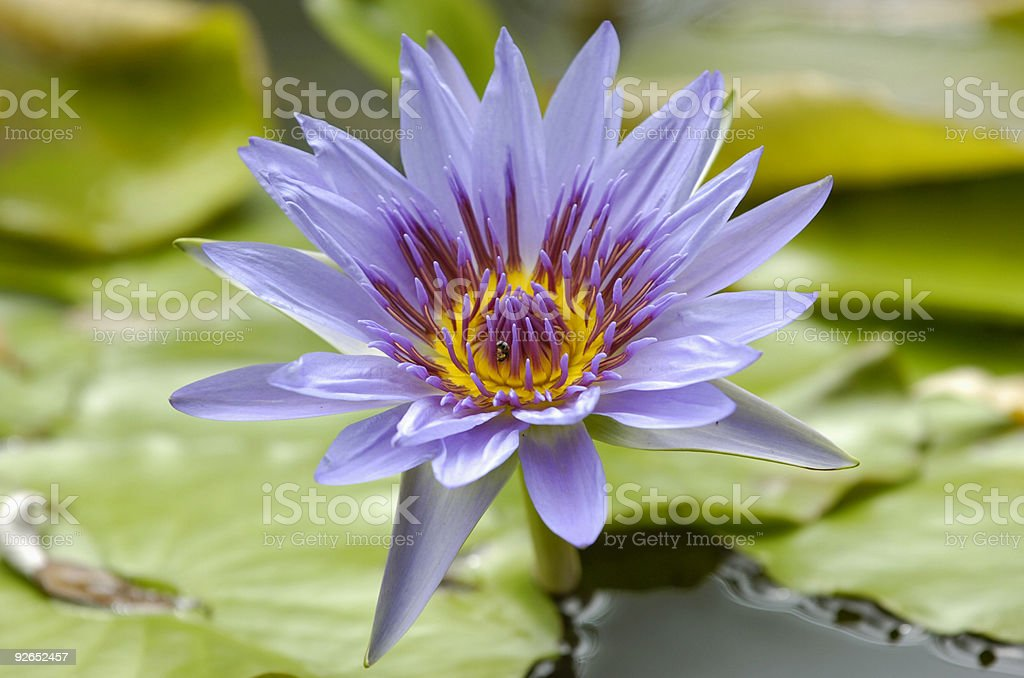 Purple water lily royalty-free stock photo