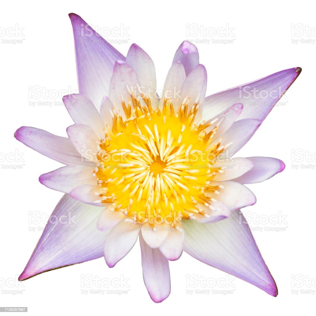 Purple water lily top view on white background