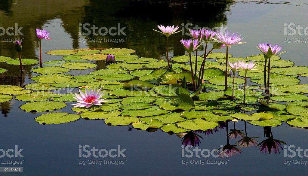 Purple Waterlilies royalty-free stock photo