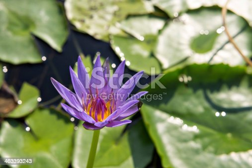 Purple waterlilly