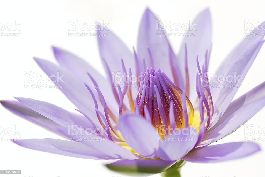 Purple waterlily royalty-free stock photo