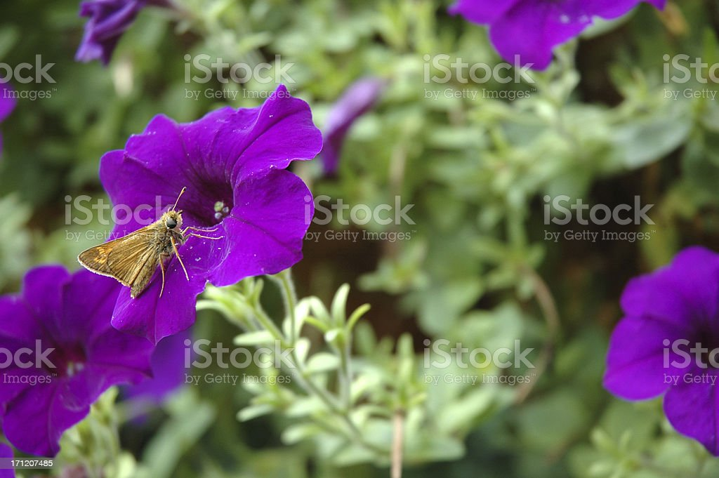 Purple Wave Petunia with Butterfly stock photo
