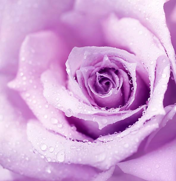 Purple wet rose background picture id121182326?b=1&k=6&m=121182326&s=612x612&w=0&h=jf0uturcbofm8xt89bvkneklhq7gqybos7jocfco2yc=