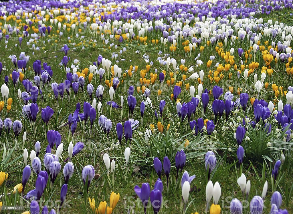Purple, white and yellow Crocus in lawn royalty-free stock photo
