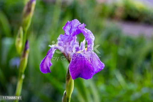 Purple, white, blue and violet blooming Iris xiphium (Bulbous iris, sibirica) on green leaves ang grass background in the garden in spring and summer