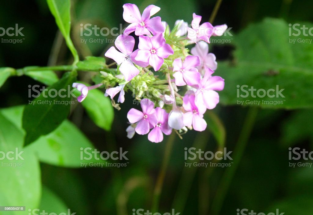 Purple White Flowers royalty-free stock photo