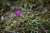 Purple wild flower in summer in the mountains