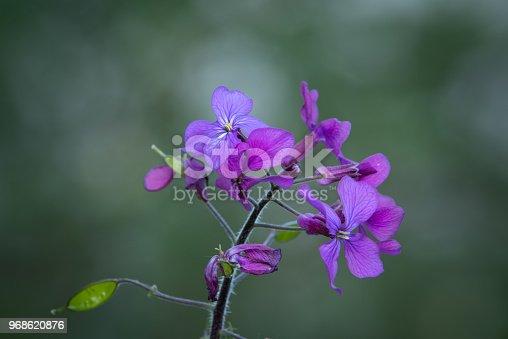 Plant, Blossom, Flower, Forest, Purple wild flowers of Melastoma