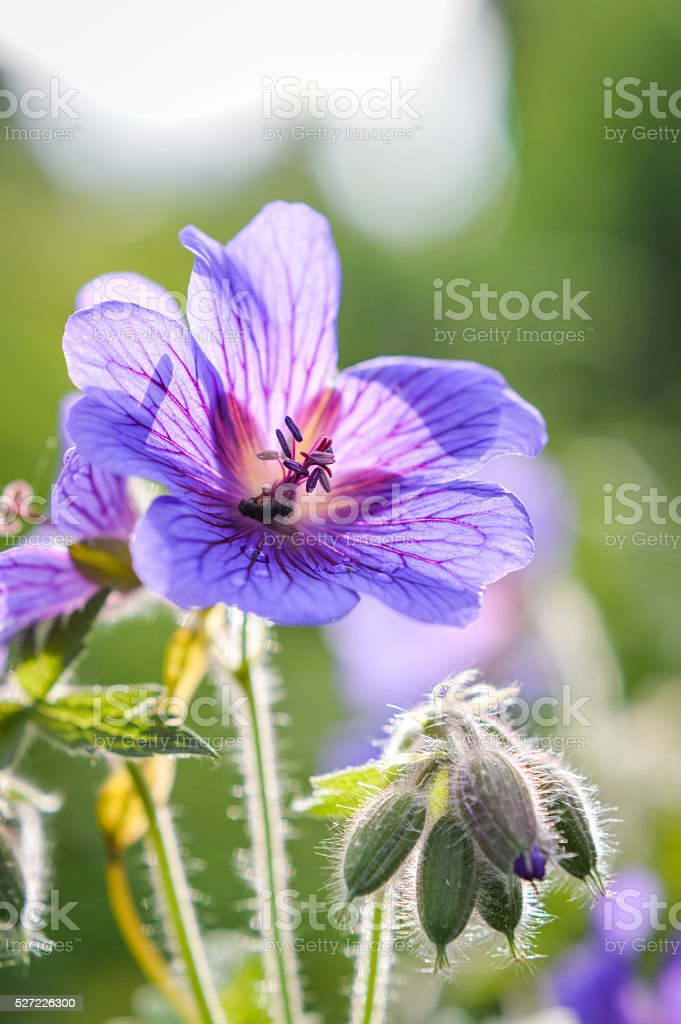 purple wild geranium flowerhead with dew drops stock photo